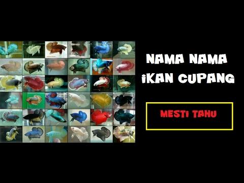 Jenis Jenis Ikan Cupang - YouTube