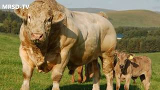 Beautiful Monster Bulls  Biggest & Crazy Cow In The World Now.