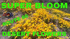 SUPER BLOOM 2019 DESERT FLOWERS - Route 66 Oatman AZ