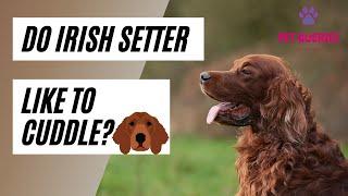 Do Irish setter like to cuddle?   #petqueries