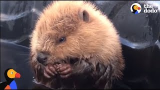 Rescued Beavers Fall In Love | The Dodo