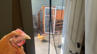 Chickens in my Small Backyard for a Month - What I learned
