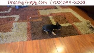 Dreamy Puppy - Teacup Miniature Pinscher Boy