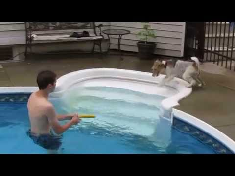 Fox terrier swimming in the pool