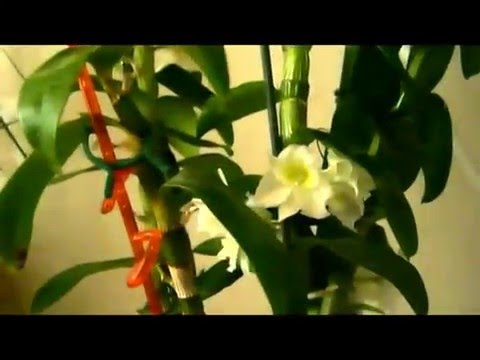 ДЕНДРОБИУМ. Что делать после цветения?