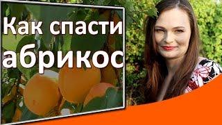 Только так можно спасти абрикос! Защита сада от монилиоза методом Дачного агронома