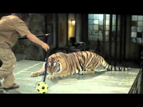 Fight Like an Animal-tiger