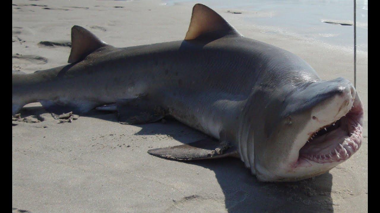 River Shark Bull Caught