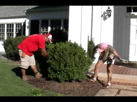 Pruning Boxwoods Youtube