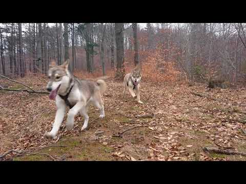 Tamaskan Dog playing Tally&Nally