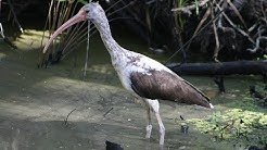 Who's Who? Florida's Wading Birds