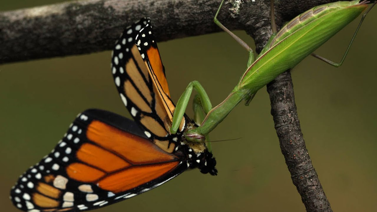 Praying Mantis catches a Butterfly