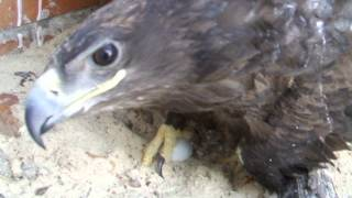 Степной орел Степанида гнездится