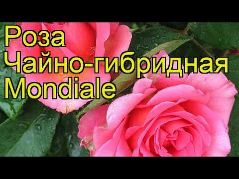 Роза чайно-гибридная Мондиаль. Краткий обзор, описание характеристик, где купить саженцы Mondiale