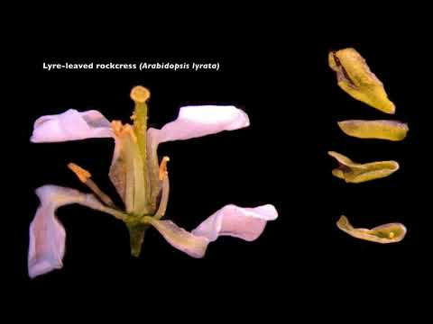 Brassicaceae Dissection from UAF's Intro to Alaska's Flora class