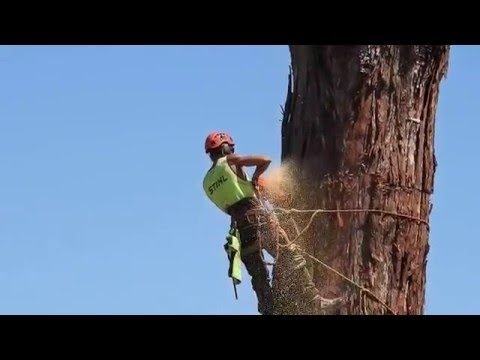 Felling a huge Redwood tree in Taradale New Zealand16 January 2016