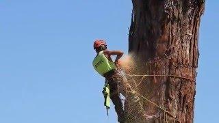 Video Felling a huge Redwood tree in Taradale New Zealand16 January 2016 download MP3, 3GP, MP4, WEBM, AVI, FLV Desember 2017
