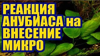 Реакция Анубиаса на внесение Микро Элементов. Удобрения и Растения в Аквариуме