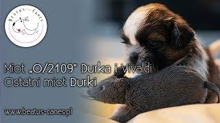 """Miot """"O/2019"""" Durka i Vivaldi - Ostatni miot Durki"""
