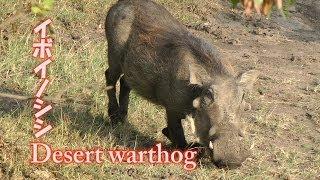 2012年7月のアフリカ ケニア サファリで撮影したイボイノシシ。主にアフ...