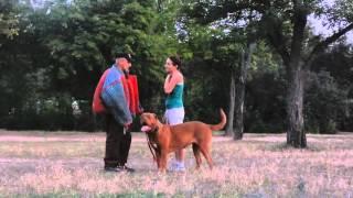 Бордоский дог. Тренировка по защите/ Dogue De bordeaux . Training for owners' protection