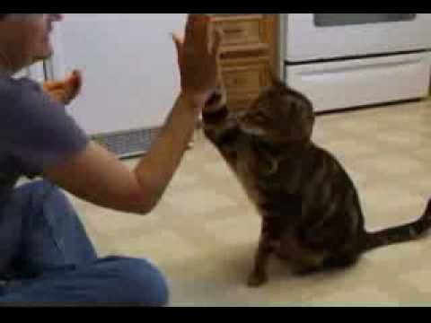 Smart Cat Doing Dog Tricks! Cute!