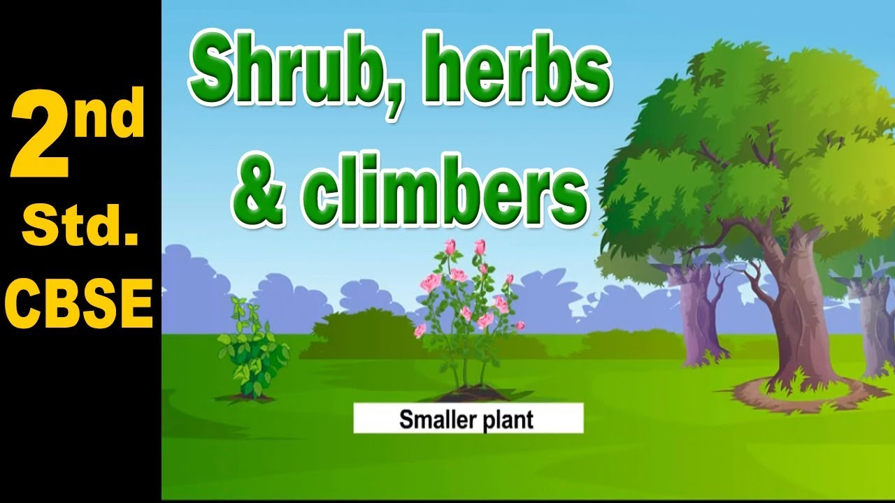 Shrub Herbs And Climbers 2nd Std Science Cbse Board Home Revise