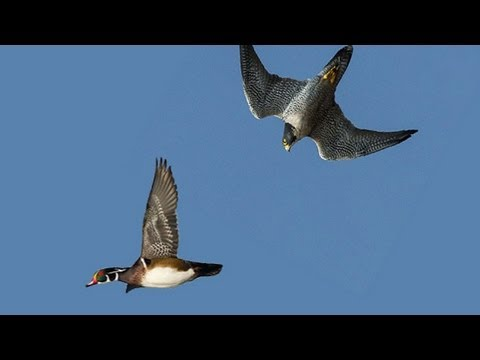 PEREGRINE FALCON STRIKES DUCK MIDAIR
