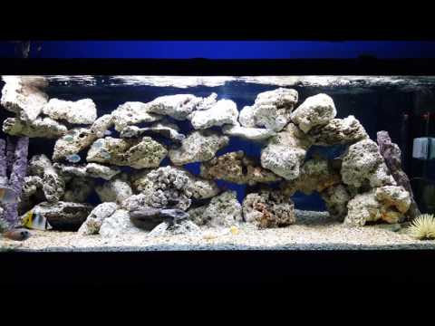 Fish Tank Diaries • Blue Throat Trigger & Foxface Rabbitfish Introduction • 06-11-16 Saturday
