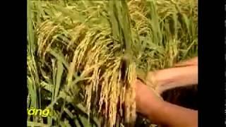 0913992727 Chế phẩm sinh học WEHG với cây Lúa KIÊN GIANG
