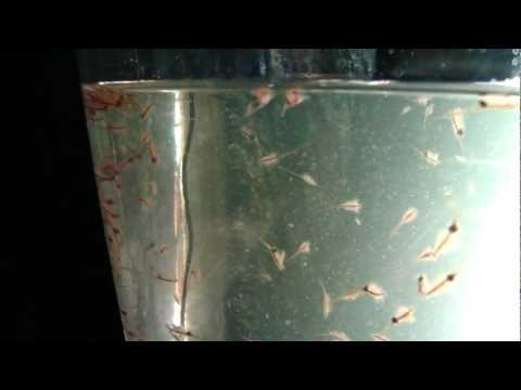 Sea Monkey Tank Cleaning all.MP4