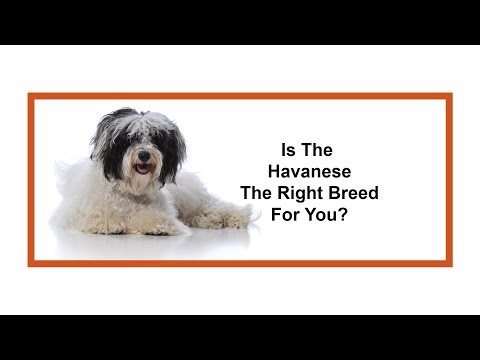 Everything Puppies - Havanese Breed Information (2019)