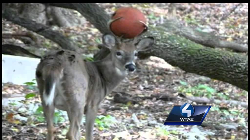 Deer Gets Basketball Stuck In Antlers Youtube