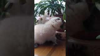 Котята шотландские породистые продажа