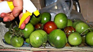 Зеленые томаты дозревают мгновенно после этого! Как ускорить дозревание томатов в домашних условиях?