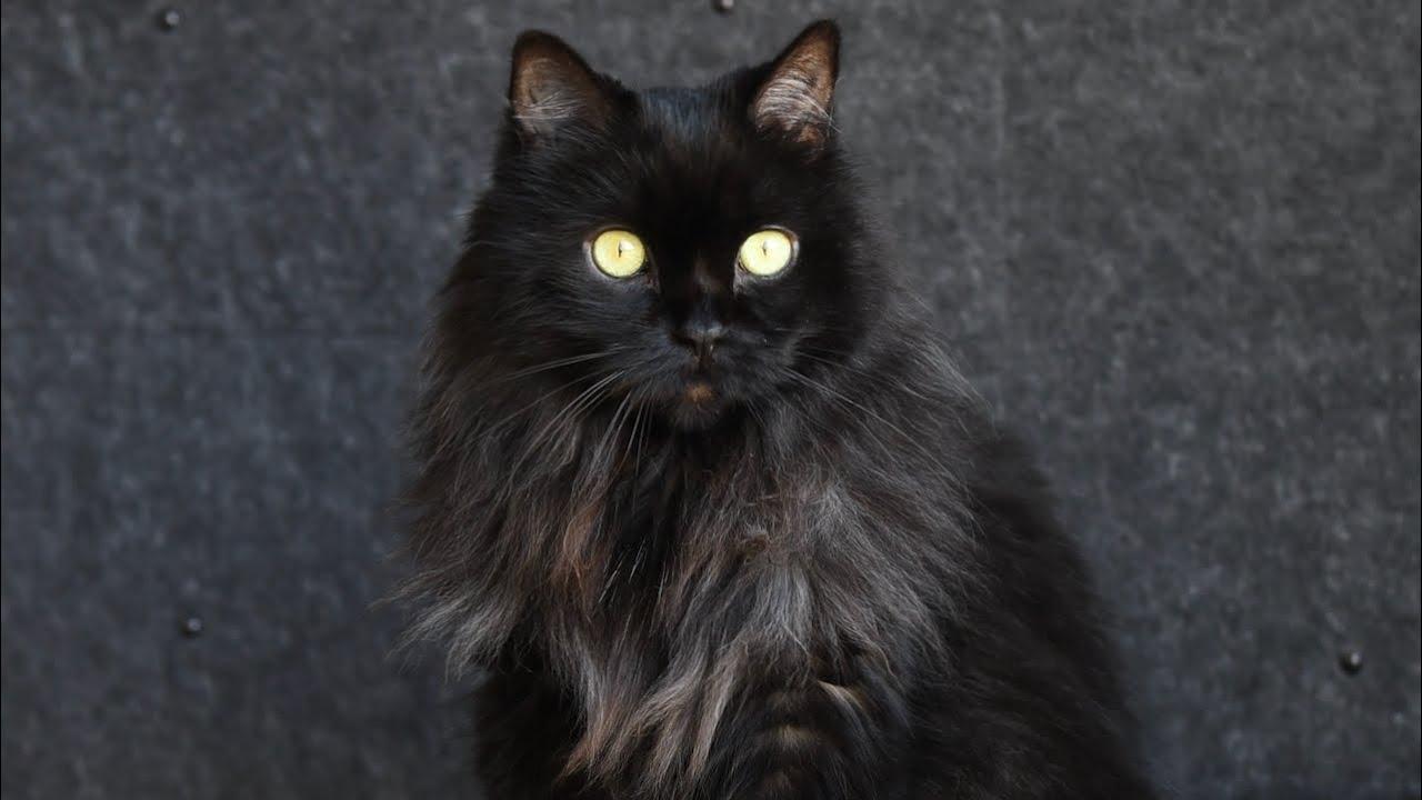 Just a Beautiful Black Cat