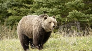 Amazing Facts About Grizzly Bears