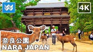 Walking around Nara Park (奈良公園)  Deer Bowing Ancient Shrines & Temples  Japan Guide 【4K】
