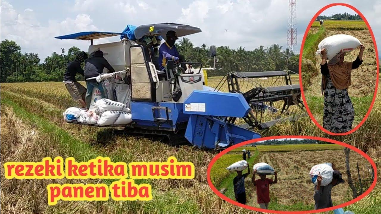 Seperti inilah cara kami memanen padi