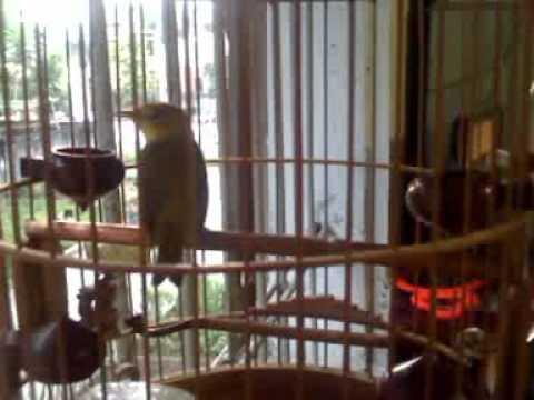 chim vanh khuyên [hot chuyen] trần công