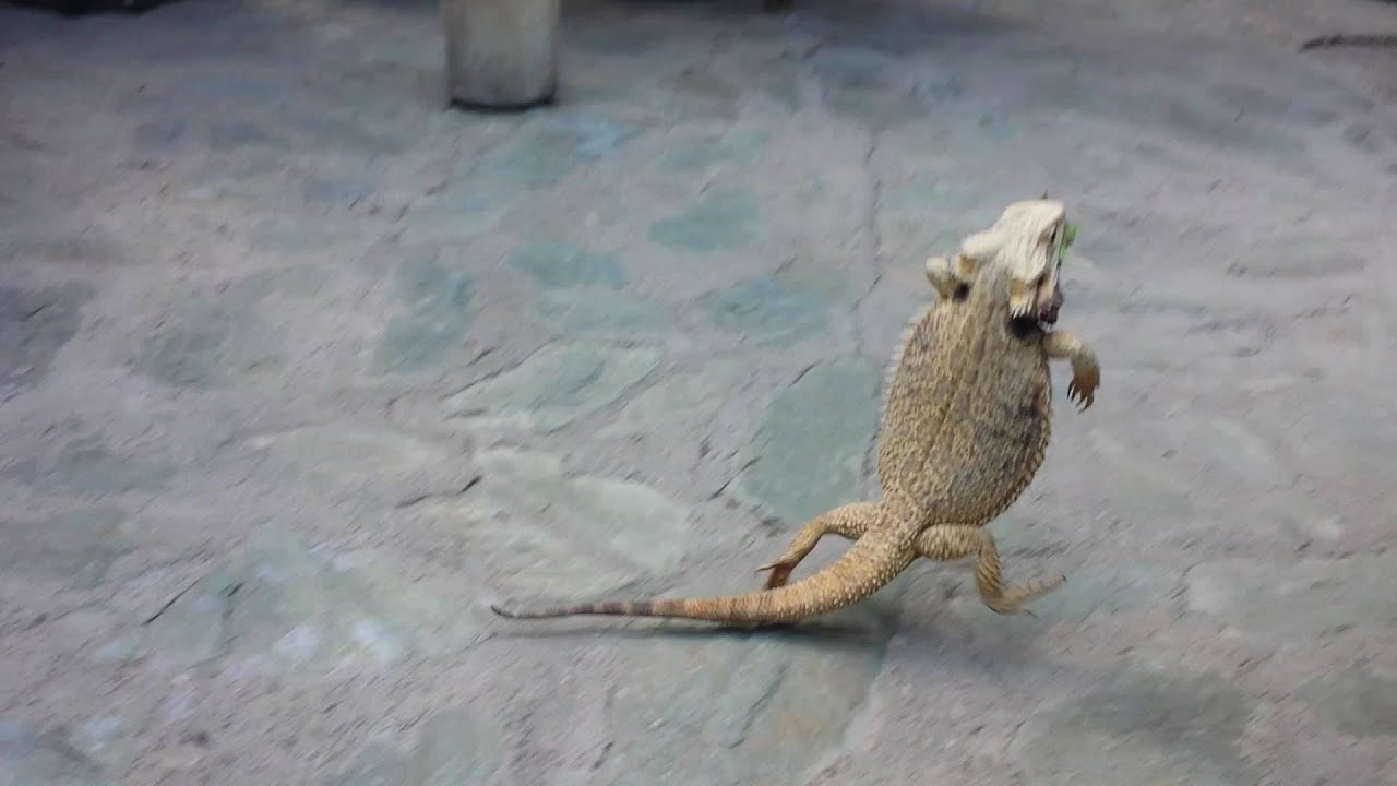 Bearded dragon running on two legs - YouTube