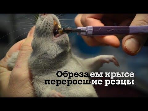 Обрезаем резцы декоративной крысе