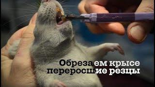 Обрезаем резцы декоративной крысе(Переросшие резцы могу травмировать ротовую полость крысы, а также мешают процессу принятия пищи. Видео..., 2016-01-15T22:30:20.000Z)