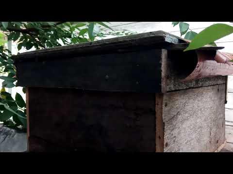 Memancing Lebah Liar Masuk Kotak - Hari Ke 4
