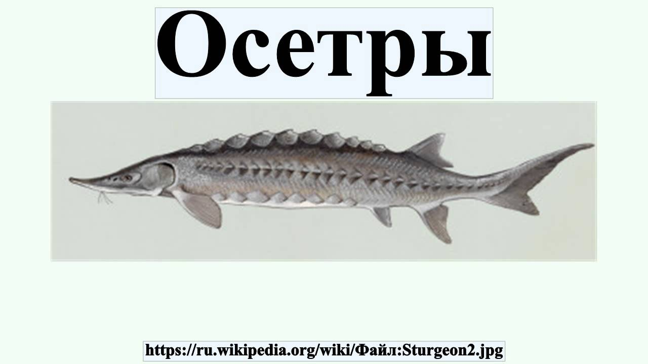 Доклад на тему осетровые рыбы википедия 9034
