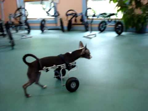 Two Legged Chihuahua Shows Off In An Ed S Wheels Front Wheel Dog Wheelchair