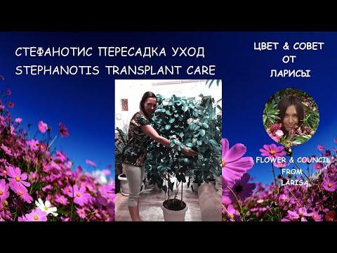 СТЕФАНОТИС КАК ПЕРЕСАДИТЬ, УХОД | Стефанотис уход в домашних условиях видео
