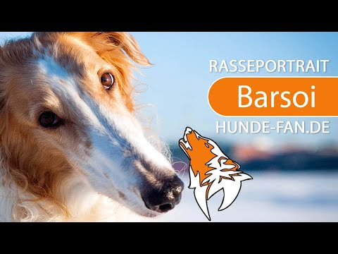 Borzoi - Russian Hunting Sighthound [2018] Breed, Appearance & Character