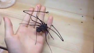 Amblypygi   Tailess whip Scorpion