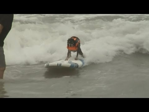 Dogs take to surf boards in competition in California